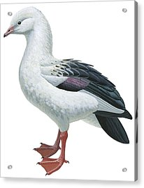 Andean Goose Acrylic Print by Anonymous