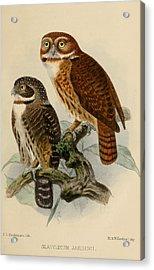 Andean Pygmy Owl Acrylic Print by J G Keulemans