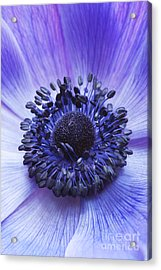 Anemone Coronaria Acrylic Print by Tim Gainey