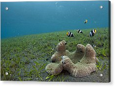 Anemonefish In Seagrass In Indonesia Acrylic Print by Science Photo Library