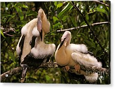 Anhinga Chicks Acrylic Print by Ron Sanford