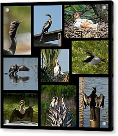 Anhinga Collage Acrylic Print by Dawn Currie