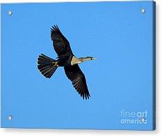 Anhinga Female Flying Acrylic Print by Anthony Mercieca