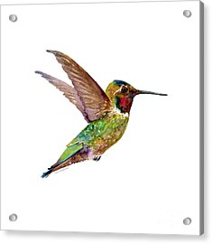 Anna Hummingbird Acrylic Print by Amy Kirkpatrick