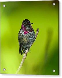 Anna's Hummingbird 2014 Acrylic Print by Lara Ellis