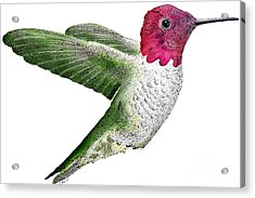 Annas Hummingbird Acrylic Print by Roger Hall