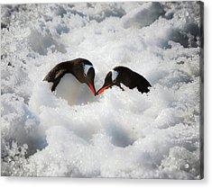 Antarctica A Pair Of Gentoo Penguins Acrylic Print by Janet Muir