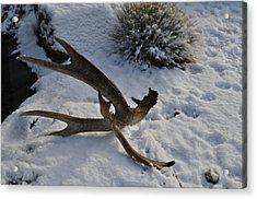 Antler 4 Acrylic Print by Heather L Wright