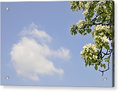 Apple Blossom In Spring Blue Sky Acrylic Print by Matthias Hauser