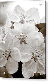 Apple Blossoms Acrylic Print by Frank Tschakert