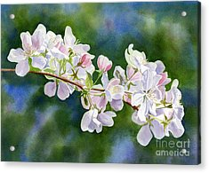 Apple Blossoms With Blue Green Background Acrylic Print by Sharon Freeman