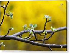 Apple Flower Buds Against A Yellow Acrylic Print by Laura Berman