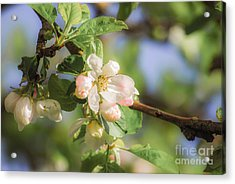 Apple Tree Blossom - Vintage Acrylic Print by Hannes Cmarits
