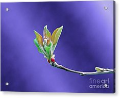 Apple Tree Blossom Spring Flower Bud Acrylic Print by ImagesAsArt Photos And Graphics