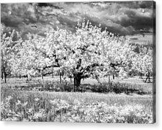 Apple Tree In Ir Acrylic Print by Stephen Mack