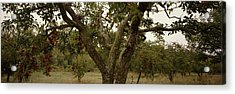 Apple Trees In An Orchard, Sebastopol Acrylic Print by Panoramic Images