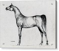Arabian Horse Drawing 34 Acrylic Print by Angel  Tarantella