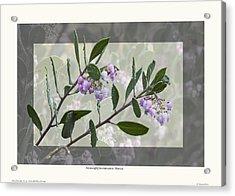 Arctostaphylos Manzanita 'monica' Acrylic Print by Saxon Holt