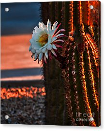 Argentine Cactus Acrylic Print by Robert Bales