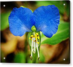 Arkansas Asiatic Dayflower Acrylic Print by Randy Forrester