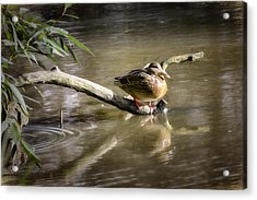 Artistic Paintiry Female Mallard Duck Sitting On A Log Near And Reflected In Water Acrylic Print by Leif Sohlman