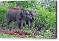 Asian Elephants With Calf Acrylic Print by K Jayaram