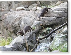 Asian Small Clawed Otter - National Zoo - 01133 Acrylic Print by DC Photographer