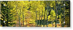 Aspen Grove, Moose Ponds, Grand Teton Acrylic Print by Panoramic Images