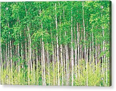 Aspen Trees, View From Below Acrylic Print by Panoramic Images