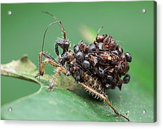 Assassin Bug Nymph With Ants Acrylic Print by Melvyn Yeo