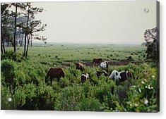 Assateague Herd 2 Acrylic Print by Joann Renner