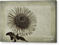 Aster With Textures Acrylic Print by John Edwards