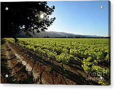 At The Vineyard Acrylic Print by Jon Neidert