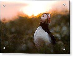 Atlantic Puffin At Sunrise Skomer Acrylic Print by Sebastian Kennerknecht