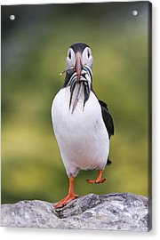 Atlantic Puffin Carrying Greater Sand Acrylic Print by Franka Slothouber