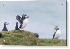 Atlantic Puffins Fratercula Arctica Acrylic Print by Panoramic Images