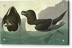 Audubon Razorbill Acrylic Print by Granger