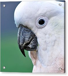 Australian Birds - Cockatoo Up Close Acrylic Print by Kaye Menner