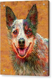 Australian Cattle Dog Acrylic Print by Jane Schnetlage
