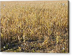 Autumn Cattle Silage Corn In Maine Acrylic Print by Keith Webber Jr