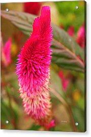 Autumn Cockscomb  Acrylic Print by Chris Berry