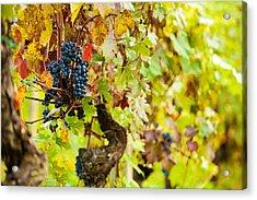 Autumn Grape Harvest Season Acrylic Print by Susan Schmitz