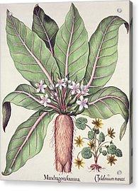 Autumn Mandrake Acrylic Print by German School