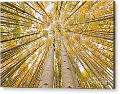 Autumn Quaking Aspen Rocky Mts Colorado Acrylic Print by Yva Momatiuk and John Eastcott