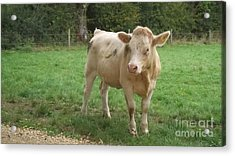 Baby Bull Acrylic Print by John Williams