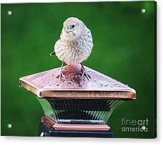 Baby Cowbird Acrylic Print by Judy Via-Wolff