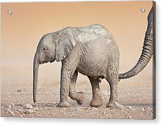 Baby Elephant  Acrylic Print by Johan Swanepoel