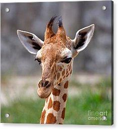 Baby Giraffe Acrylic Print by Louise Heusinkveld
