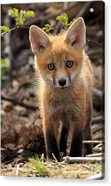 Baby In The Wild Acrylic Print by Everet Regal