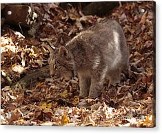 Baby Lynx On The Look Out Acrylic Print by Inspired Nature Photography Fine Art Photography